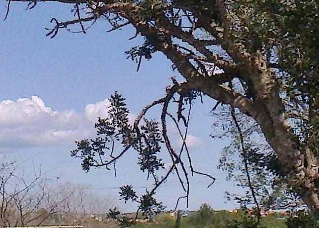 Hoopohs in carob tree
