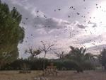 Starlings over garden