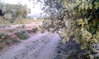Olive blossom by a track