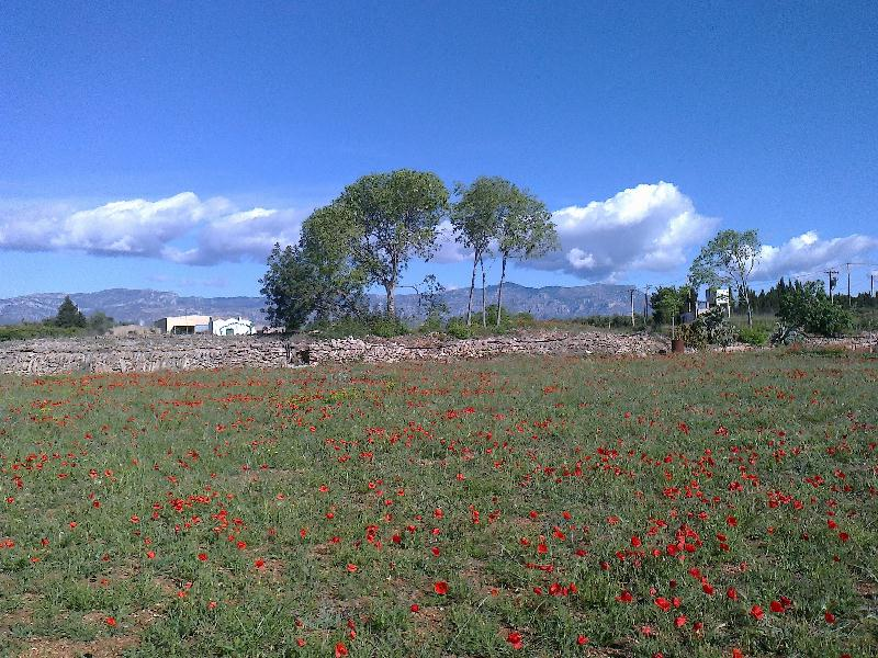 Poppies and mountains