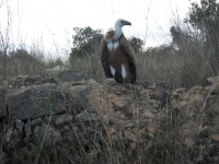 Vulture in Cami de Cantallops