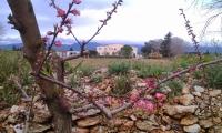 Peach blossom time