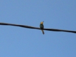 Bee eater on the wire
